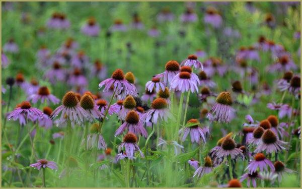 Cone Flowers (Echinacea)