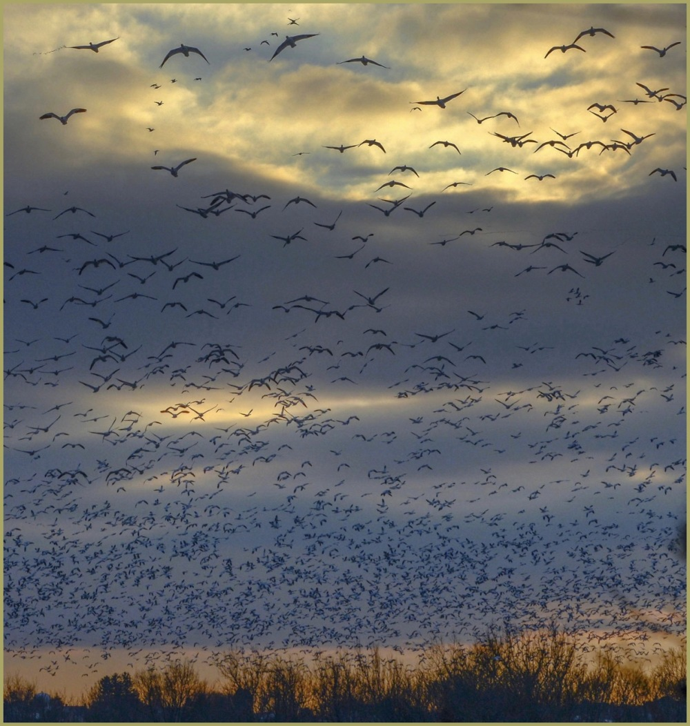 Snow Geese in Winter