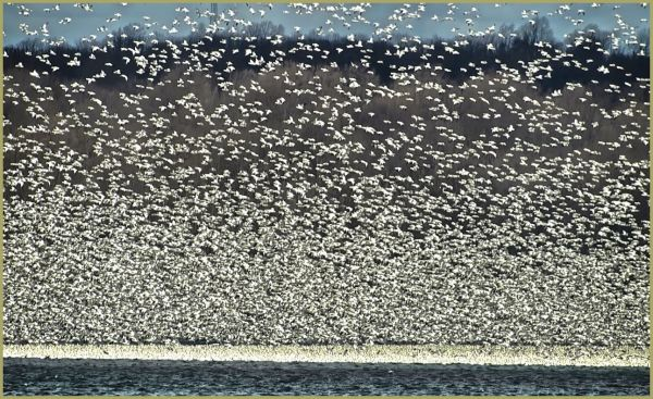 Snow Geese Fill the Sky