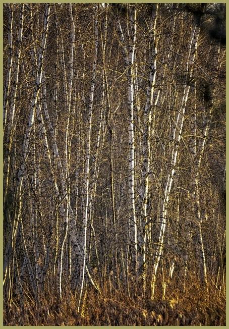 Birches   1