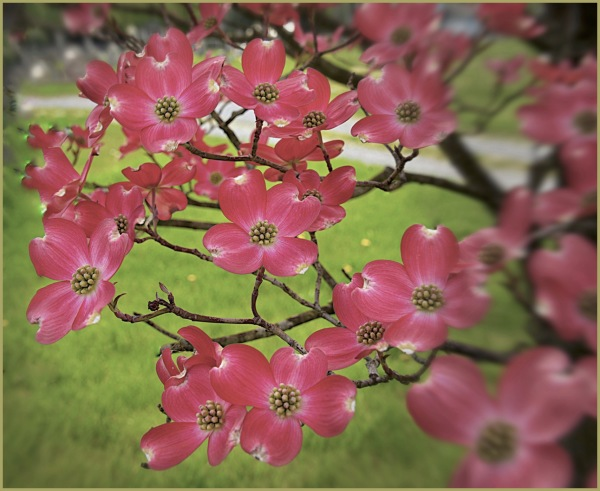 Pink Dogwood Frenzy   Truth in a Box
