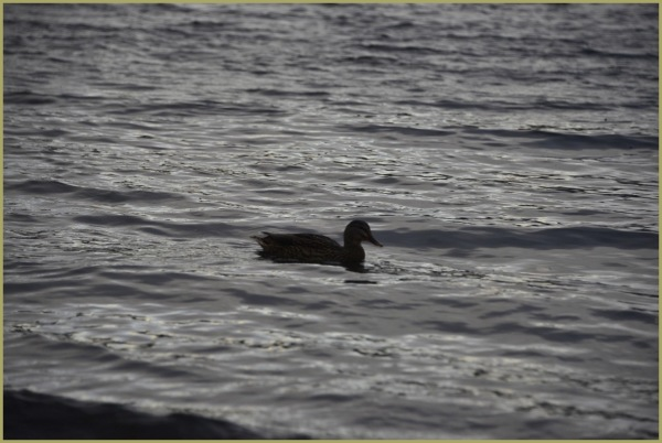 "The Lone Duck   ""In My Solitude"""