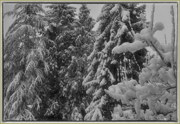 Still Life   Snow on Trees