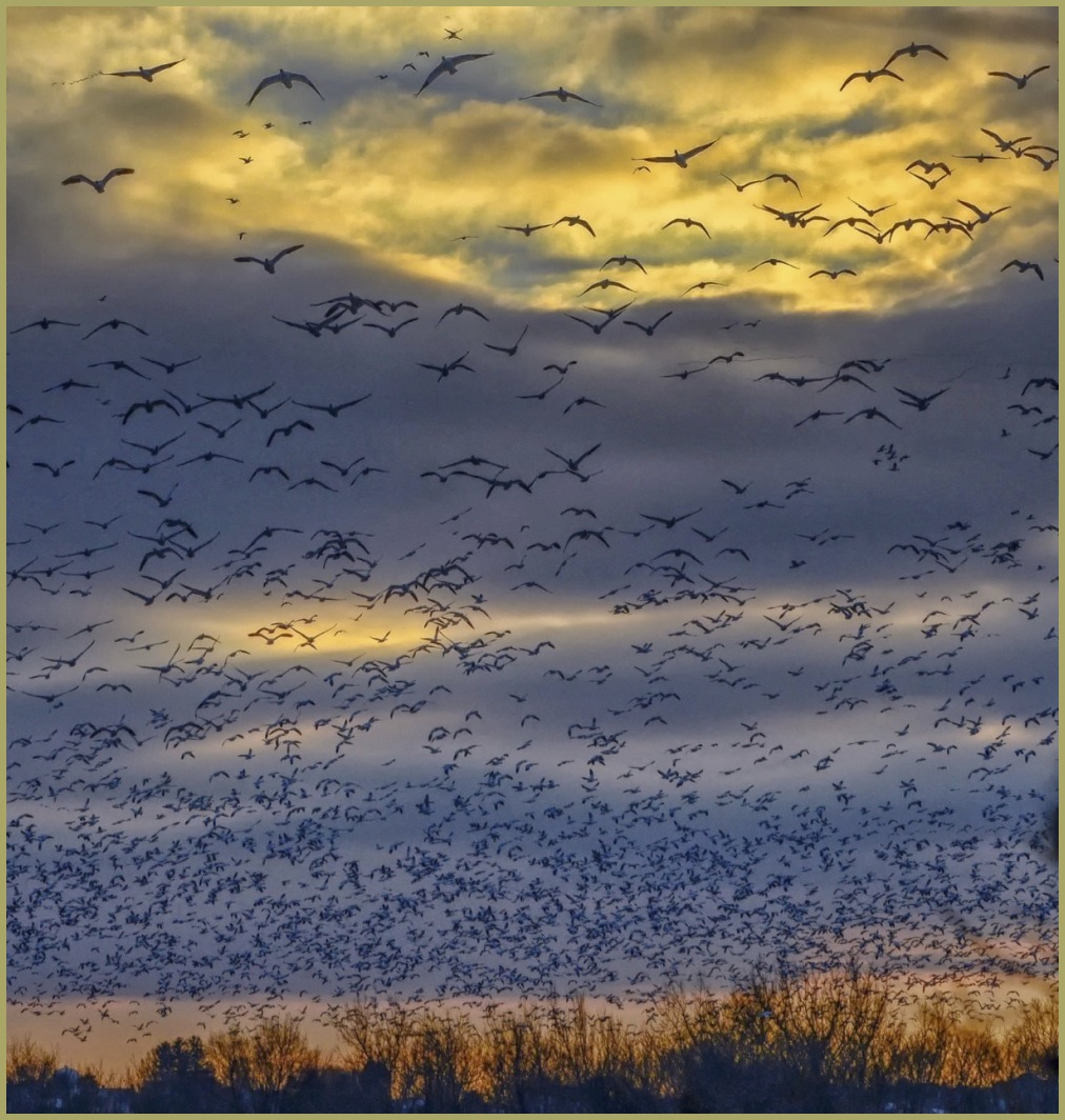Snow Goose Sunset