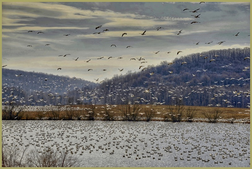 Middel Creek - Snow Geese