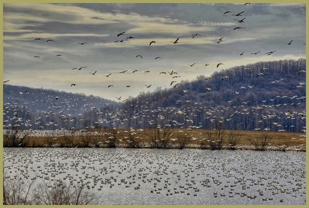 Snow Geese   Pennsylvania   Middle Creek Res.