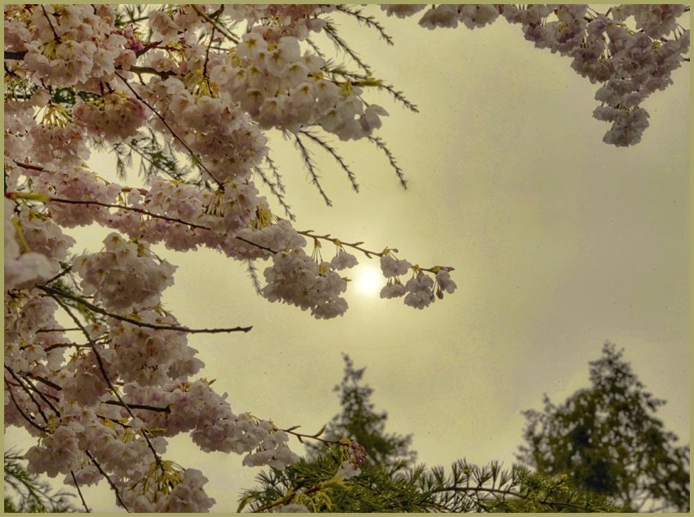 Cherry Blossom Conceptual - For Nick