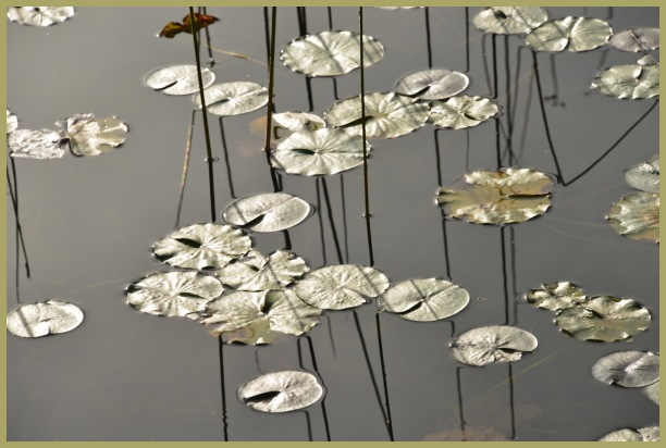 Silver (or Gold)   Plated Water Lillys