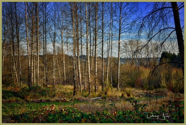 Late Autumn Birches