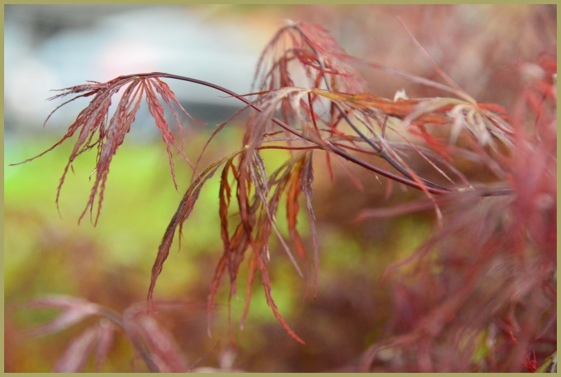 Dwarf Japanese Maple