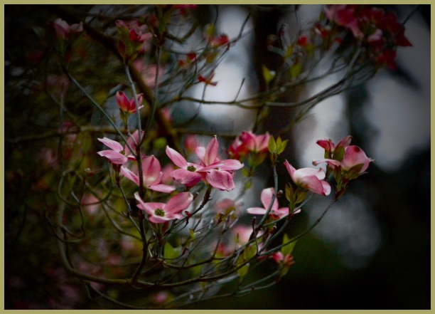 Early Evening Pink Dogwood Blossoms!