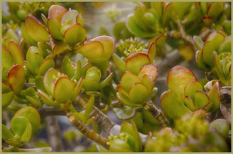 Jade Plant (Crassula oval)
