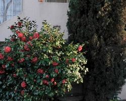 """Series: """"Postcards from Vallejo"""" - Camellia"""