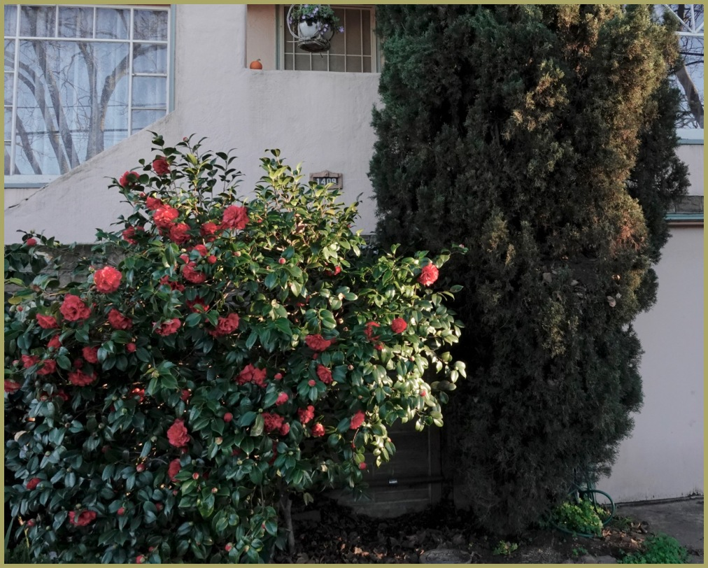 "Series: ""Postcards from Vallejo"" - Camellia"