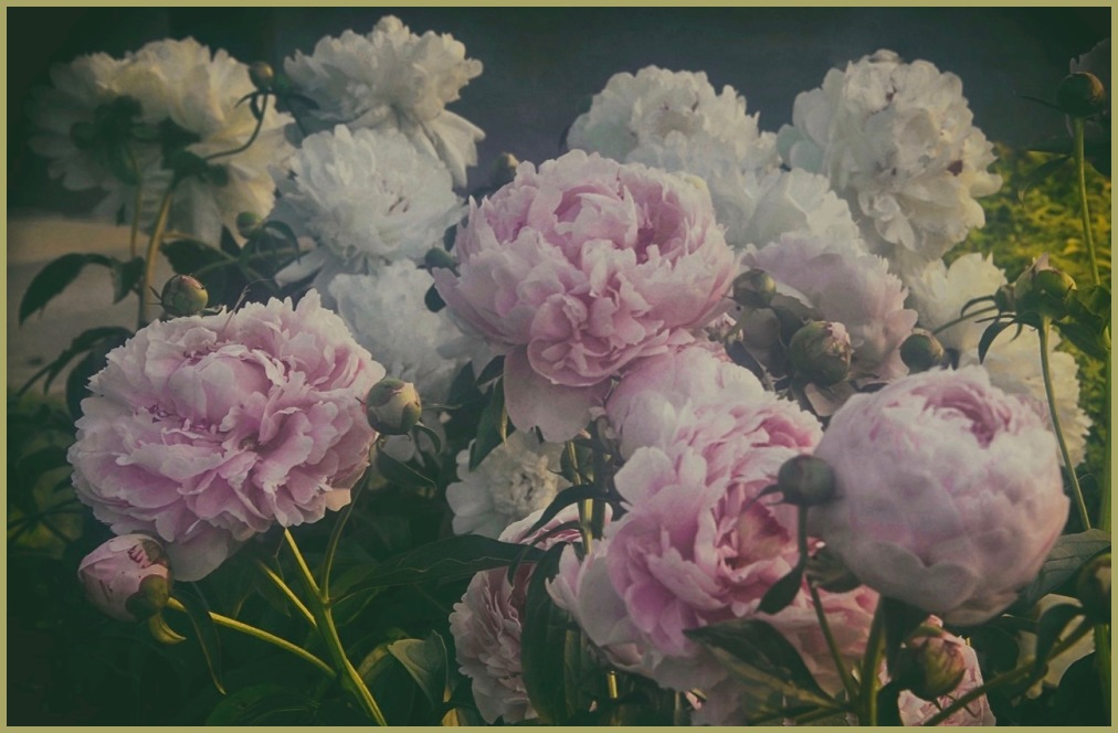 "Peonies -  ""In the Mood"""