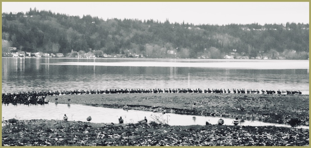 Funky Black & White Series - #1 - Coot Lunch Line
