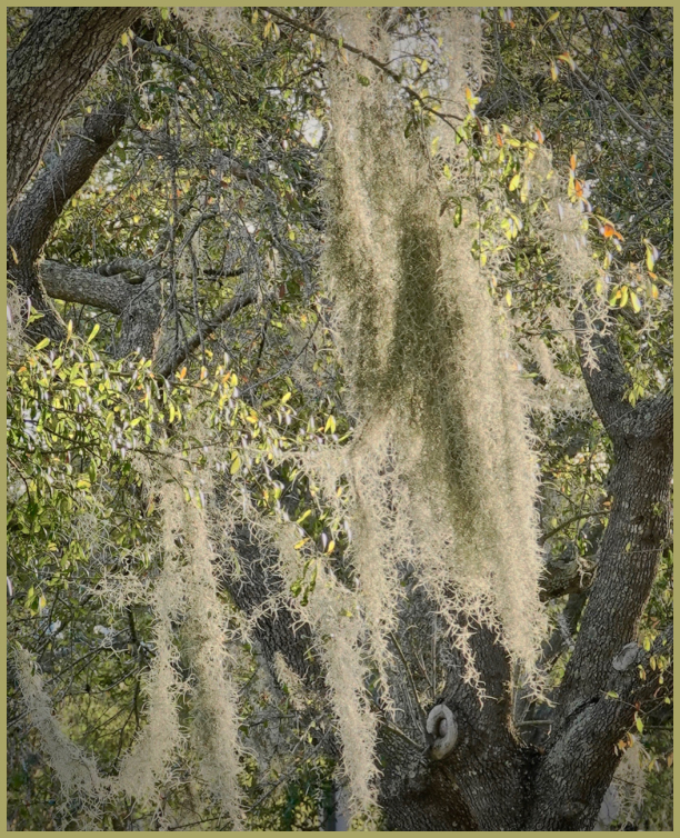 Spanish Moss (Florida)