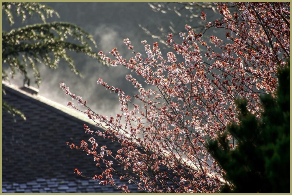 llSteaming Pink Blossoms