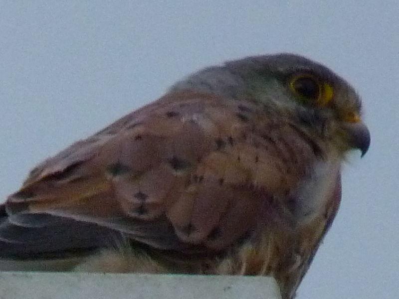Falcon near our house