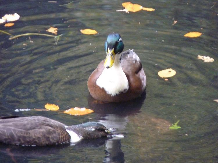 Ducks in Autumn