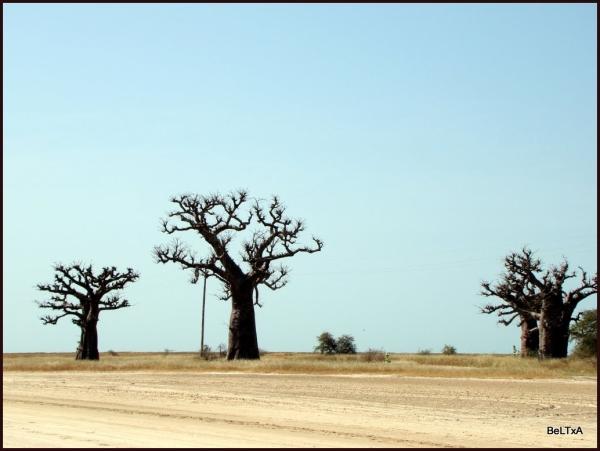 Bosque de baobabs // Baobab forest