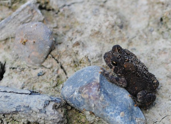 Little Toad