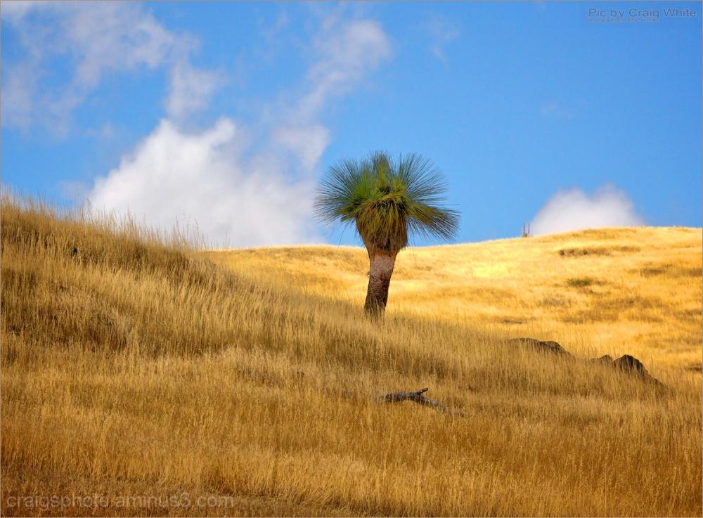 Xanthorrea - Grass Tree by Craig White AUS