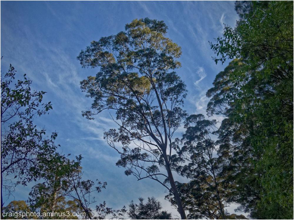 Tall Eucalyptus SW Australia by Craig White AUS