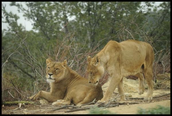 lionne à la reserve de Sigean