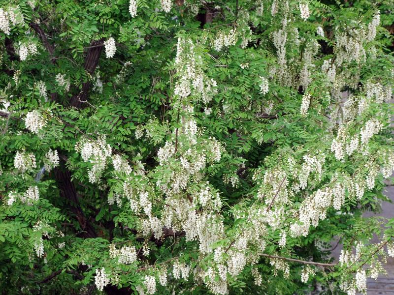 Acacia Season
