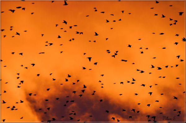 Mais k@-t-il donc avec ses oiseaux le Will?