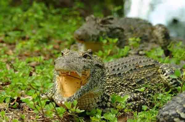cocodrilo Rhombifer cuba humedales Reptiles
