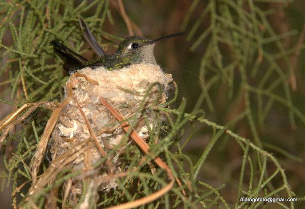 Zunzún en su nido
