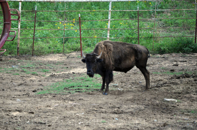 buffalo, bison