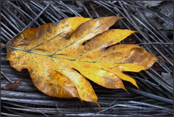 withered yellow leaf