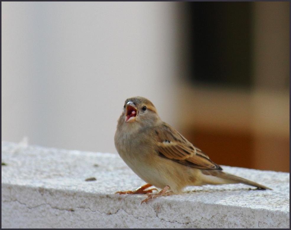 singer sparrow