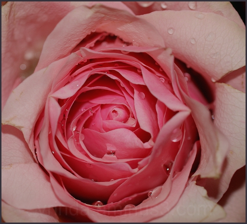 A rose is a rose is a rose................