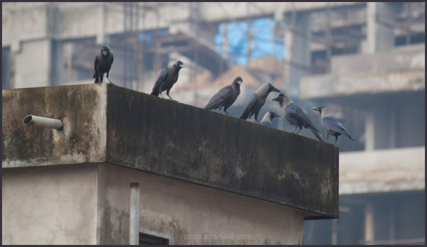 just crows _3