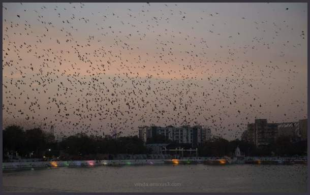 Starlings murmurations