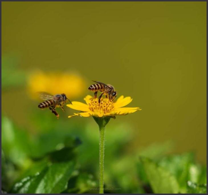 One flower two bees