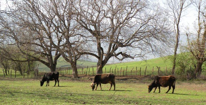 Cows on the Prairie