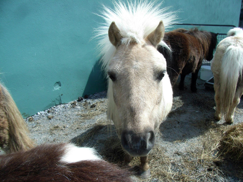 Fallabella pony