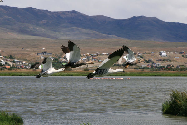 Wild Geese & Flamingos