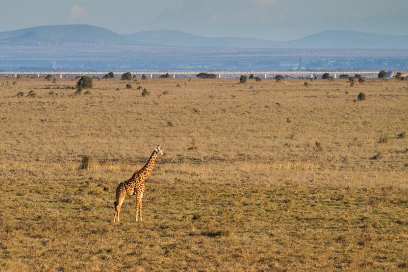 Railway, giraffe