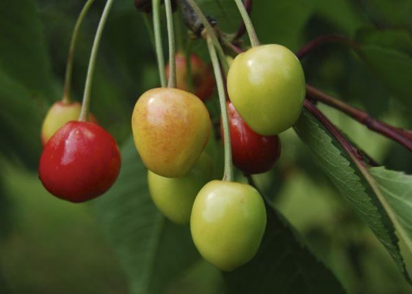 Cherries - almost the season