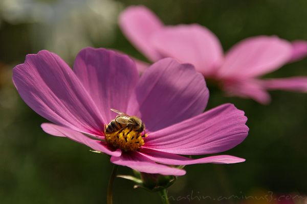 cosmos flower and bee