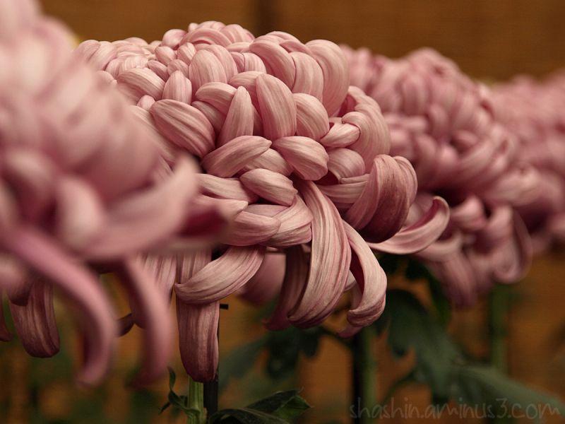 big pink chrysanthemums