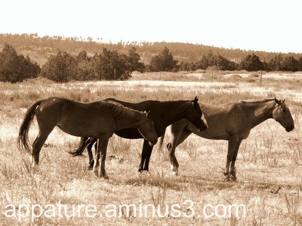 Wild Mustangs  SouthDakota