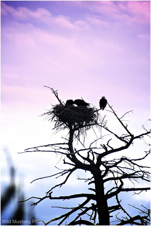 tree  eagle  nest
