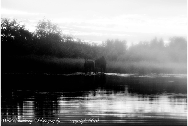Moose   water    grasses  fog